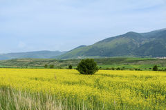 Yellow rape seed field in Bulgaria Royalty Free Stock Images