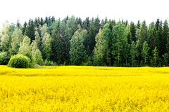 Yellow rape seed field in Finland Stock Photography