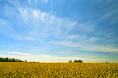 Yellow rape seed field Royalty Free Stock Photos