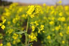 Yellow rape Royalty Free Stock Photography