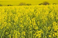 Yellow rapes Royalty Free Stock Image