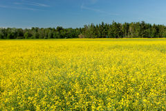 Yellow Rapeseed Stock Photos
