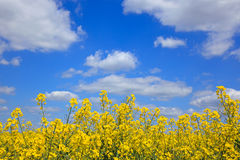 Yellow rapeseed against a bright blue sky Royalty Free Stock Photos