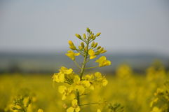 Yellow rapeseed in bloom Royalty Free Stock Photos