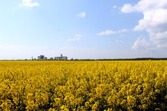Yellow rapeseed Royalty Free Stock Photo