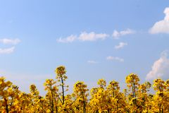 Yellow rapeseed Stock Photography