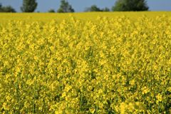 Yellow rapeseed field. Stock Photography