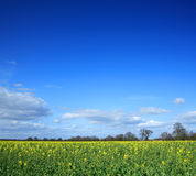 Yellow rapeseed field Royalty Free Stock Photos