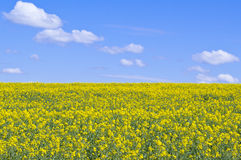 Yellow rapeseed field. Against a blue sky Stock Photo
