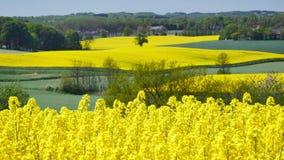 Yellow rapeseed field stock video