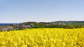 Yellow rapeseed field against a blue sky stock footage