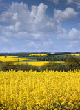 Yellow rapeseed field against a blue sky in the spring Royalty Free Stock Photography