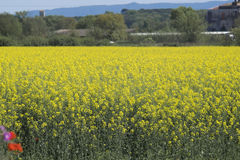 Yellow rapeseed field in bloom landscape Stock Photography
