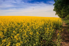 yellow rapeseed field in blossom upto horizon Royalty Free Stock Images