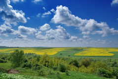 Yellow rapeseed field and blue sky. Royalty Free Stock Image