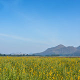 Yellow rapeseed field and blue sky Royalty Free Stock Images