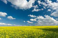 Yellow rapeseed field and blue sky, beautiful spring landscape Royalty Free Stock Photography