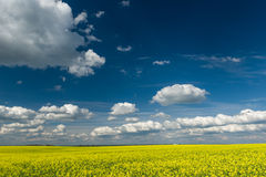 Yellow rapeseed field and blue sky Royalty Free Stock Photo