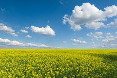 Yellow rapeseed field and blue sky Royalty Free Stock Photography