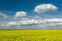 Yellow rapeseed field and blue sky Stock Images