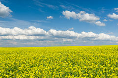 Yellow rapeseed field and blue sky Royalty Free Stock Image