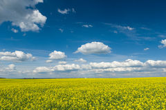 Yellow rapeseed field and blue sky, beautiful spring landscape Royalty Free Stock Image