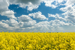 Yellow rapeseed field and blue sky, a beautiful spring landscape Royalty Free Stock Images