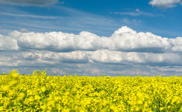 Yellow rapeseed field and blue sky, spring landscape Stock Photo