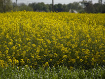 Yellow rapeseed field ( brassica napus ) Royalty Free Stock Images