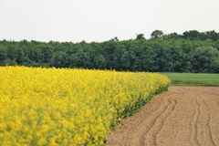 Yellow, Rapeseed, Field, Canola Royalty Free Stock Photography