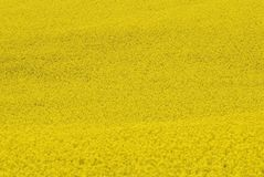 Yellow, Rapeseed, Field, Canola Royalty Free Stock Images