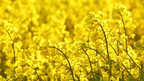 Yellow rapeseed field stock footage