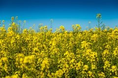 Yellow rapeseed field in czech countryside. stock photography