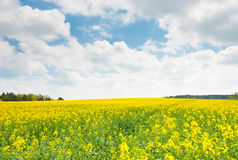 Yellow rapeseed field, field and blue sky Royalty Free Stock Image