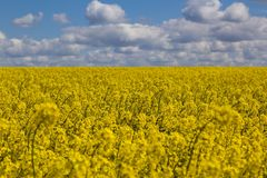 Yellow rapeseed field. Flowers of rape, selective focuse. Cloudy blue sky on the background.  Landscape of a rapeseed field Stock Image