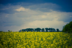 Yellow rapeseed field in Hungary. Wide angle view of a beautiful field of bright yellow canola or rapeseed in front of a forest Royalty Free Stock Image