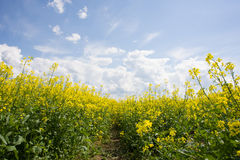 Yellow rapeseed field Stock Images