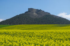 Yellow rapeseed field with mountains in the background Stock Image