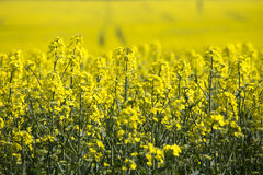 Yellow rapeseed field Stock Photos