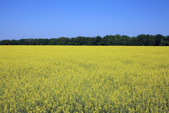 Yellow rapeseed field Stock Image