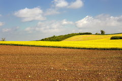 Yellow rapeseed field in poland Stock Image