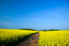 Yellow rapeseed field in spring Royalty Free Stock Photo