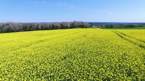 Yellow rapeseed field stock video footage