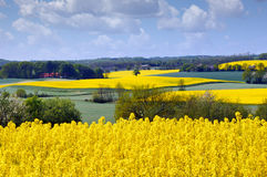 Yellow rapeseed field in the spring stock photography