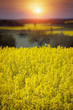 Yellow rapeseed field in the spring stock photos