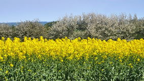 Yellow rapeseed field in the spring stock video