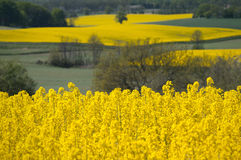 Yellow rapeseed field in the spring Royalty Free Stock Photo