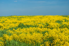 Yellow rapeseed Stock Images