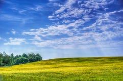 Yellow rapeseed Stock Image