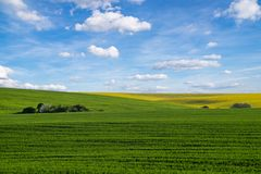 Yellow rapeseed field under blue sky. Yellow  rapeseed field under blue sky Royalty Free Stock Images